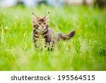 Adorable Maine Coon Kitten...
