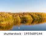 Beautiful Reed Landscape In...