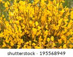 Small photo of Cytisus scoparius. Retama. Black Broom, Hiniesta.