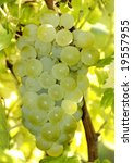 Green wine grapes at a vineyard in France - stock photo