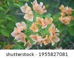 Beautiful Orange Bougainvilea...
