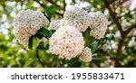 White Snowball Viburnum...