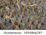 Dry Rice Stalks In An...
