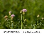 Bull Thistle Or Cirsium Vulgare ...