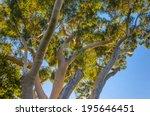 australian ghost gum tree... | Shutterstock . vector #195646451