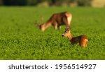 Roe Deer And Red Deer Grazing...