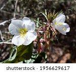 White Evening Primrose Flowers...
