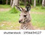 Joey Young Kangaroo Portrait...