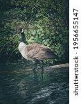 Wild Canadian Goose In Nature