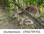 Kangaroo Crossing Under A...