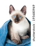 Stock photo siamese kitten plays with an old jeans 195680969