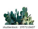 Card With Huge Opuntia Cactus...