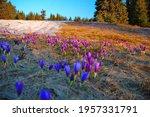 Wild Growing Purple Crocus...