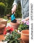 Planting Geranium Flowers At...
