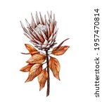 Watercolor Protea flower isolated on white background, dry flora. Hand painted watercolor. Botanical hand drawn illustration for wedding invitations, prints, greeting cards, textile