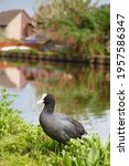 Common Coot Or Eurasian Coot ...
