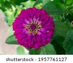 Close up of zinnia flower ...