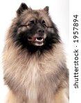 keeshond dog | Shutterstock . vector #1957894