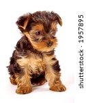 yorkshire terrier baby | Shutterstock . vector #1957895