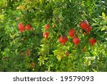 Pomegranate On Tree In A Farm...