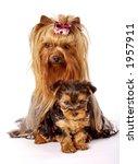 yorkshire terrier family | Shutterstock . vector #1957911