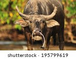 water buffalo grazing in marshy ... | Shutterstock . vector #195799619
