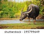 water buffalo grazing in marshy ... | Shutterstock . vector #195799649