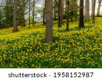 Daffodil Meadow Photographed On ...