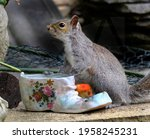 The Eastern Gray Squirrel  Also ...
