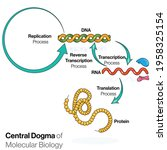 central dogma of molecular... | Shutterstock .eps vector #1958325154