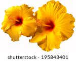Orange Hibiscus Flowers   Clos...