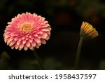 Gerbera In Pink Colours. Floral ...