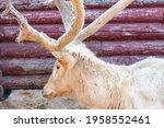 Hairy Deer Damaged Antlers In...