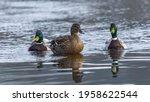 Walk Of Three Ducks At The Edge ...