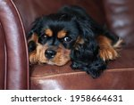 Cute Black And Tan Cavalier...