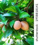 View Of Raw Sapodilla Fruit In...