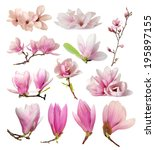 three magnolia flowers isolated ... | Shutterstock . vector #195897155