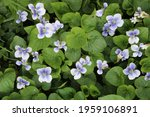 A Patch Of Common Violets