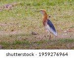 Javan Pond Heron Perching On...