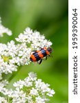 Closeup of a checkered beetle (Trichodes apiarius) on white flowers