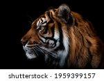 Front View Of Sumatran Tiger...