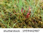 The Herbaceous Plant Sundew...