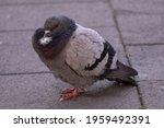 Closeup Of Gray Pigeons Birds...