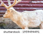 White Old Deer Close Up. Hairy...