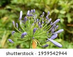Purple Flowers. California...