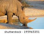 Portrait Of A White Rhinoceros  ...