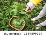 Woman Picking Wild Garlic ...