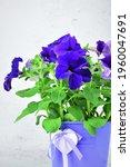 Close Up. Petunias Plant  With...