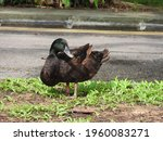 The Cayuga Duck is a domesticated animal. Pictured here is one (probably a pet abandoned by its owner) standing at the roadside near a river.