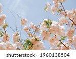 Japanese Flower Sakura.sakura...